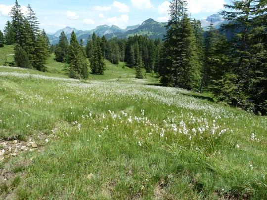 Bergfrühling; Moorwiese mit Wollgras.