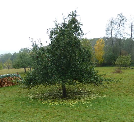 Typische Deutscher Apfelbaum. Die Äpfel will niemand. Ist das jetzt diese Streuobstkultur?